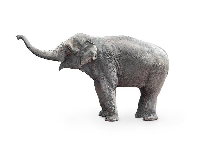 Freigestellter Elefant